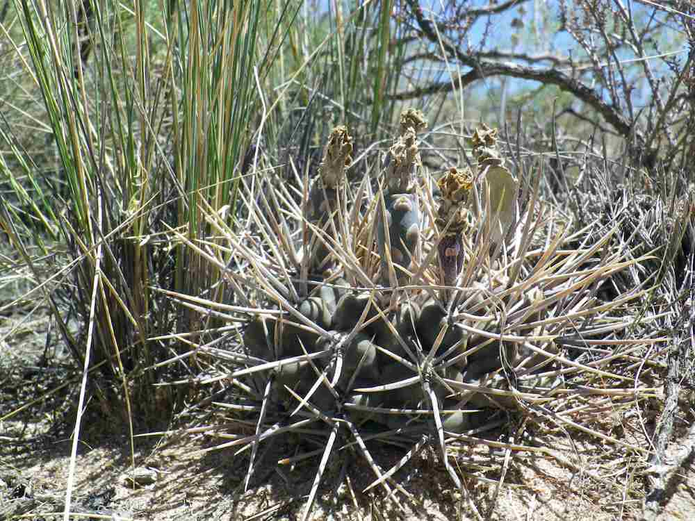 Gymnocalycium gibbosum 'brachypetalum' – Cactus de ...