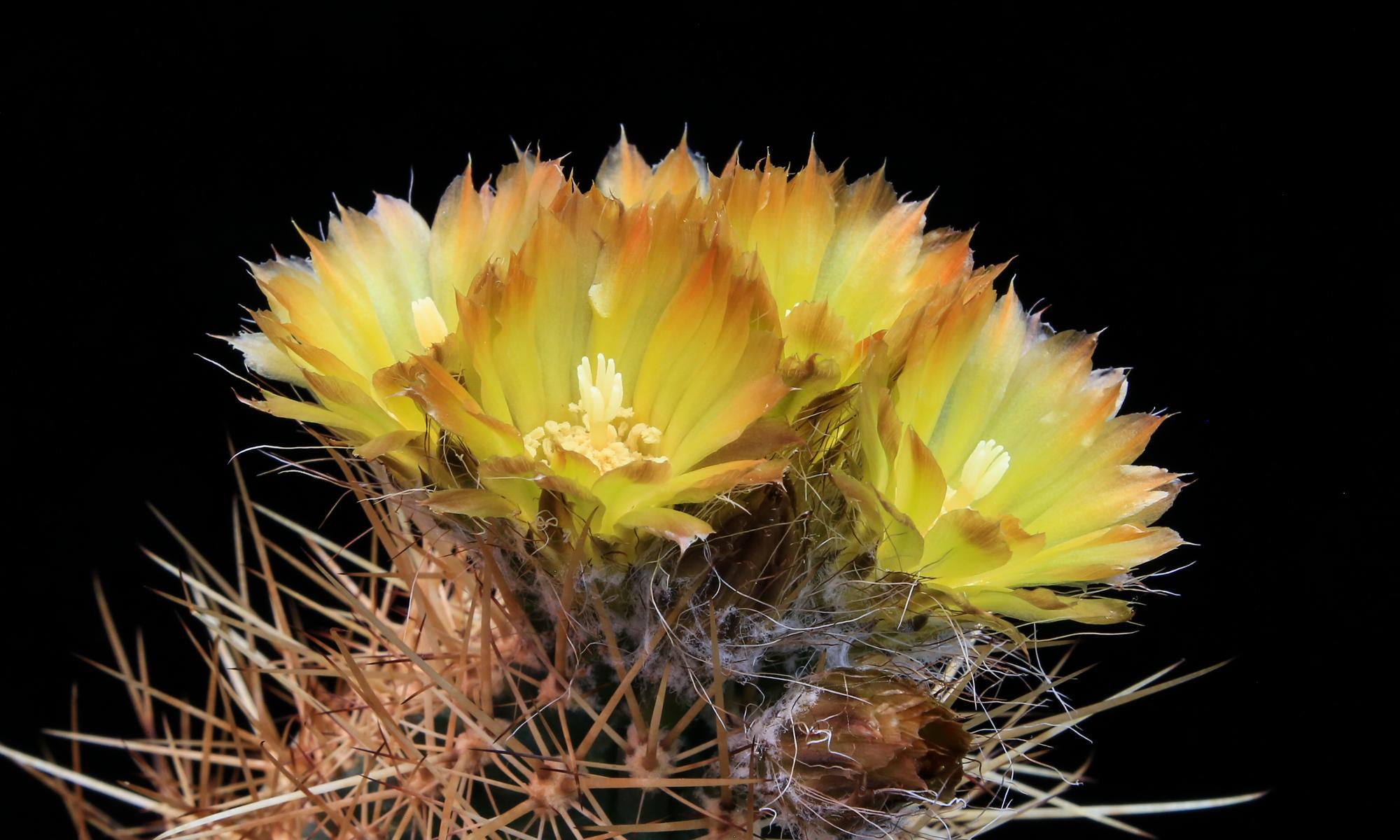 Cactus de Patagonia y Mendoza